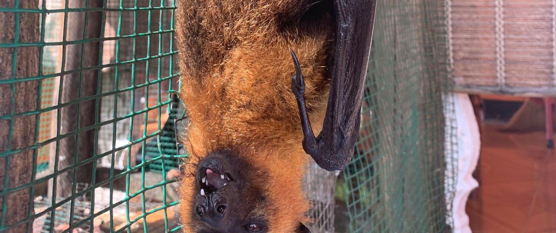 Fruit Bat at Anse Major