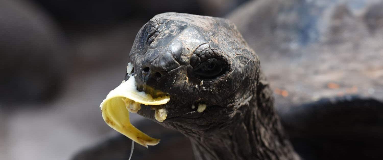 Turtle Seychelles Banana